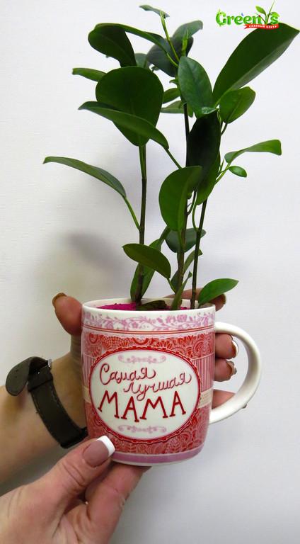 """Специально для Вас Садовый Центр """"Greens"""" представляет Живые подарки к Новому Году!  Новогодние принты на наших чашках подарят уют в холодныйвечер за чашечкой горячего чая.   С Любовью """"Greens"""" Для Самых лучшихМамочек!"""