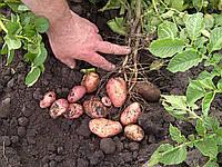 Картофель семенной сорт Забава