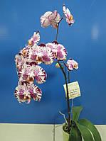 Орхидеи, возраст цветения. Сорт Phal.Chian Xen Pearl X Jiuhbao Fairy