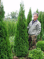 "Туя западная  (Thuja occidentalis ""Smaragd"") h-2.00м"