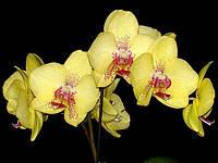 Подростки орхидеи. Сорт Phal. Yellow lover