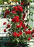 Роза Шалом ( Shalom). (в). Плетистая роза.