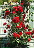 Роза Шалом ( Shalom). (с). Плетистая роза.