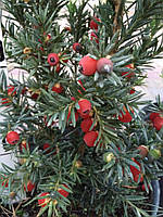Тис средний Hicksii (Taxus media Hicksii)