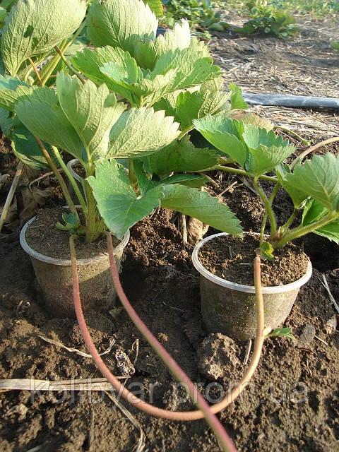 Способы выращивания рассады.