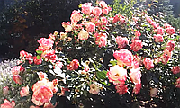Роза Юбилей Принца Монако. (мс). Флорибунда.