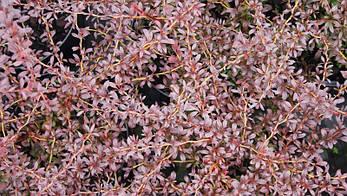 Барбарис Тунберга Red Dream 3 річний, Барбарис тунберга Ред Дрим, Berberis thunbergii Red Dream, фото 2