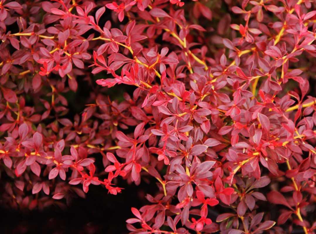 Барбарис Тунберга Red Dream 3 річний, Барбарис тунберга Ред Дрим, Berberis thunbergii Red Dream