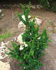 Кипарисовик тупий Сhirimen 3 річний, Кипарисовик тупой Чиримен, Chamaecyparis obtusa Сhirimen, фото 2