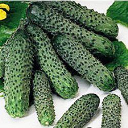 Семена огурца Пасалимо F1 (500 сем)