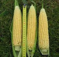 Семена кукурузы ЛЕЖЕНД F1, 1 кг, Clause