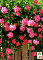 """Роза плетистая """"Розовая жемчужина"""" (саженец класса АА+) высший сорт"""
