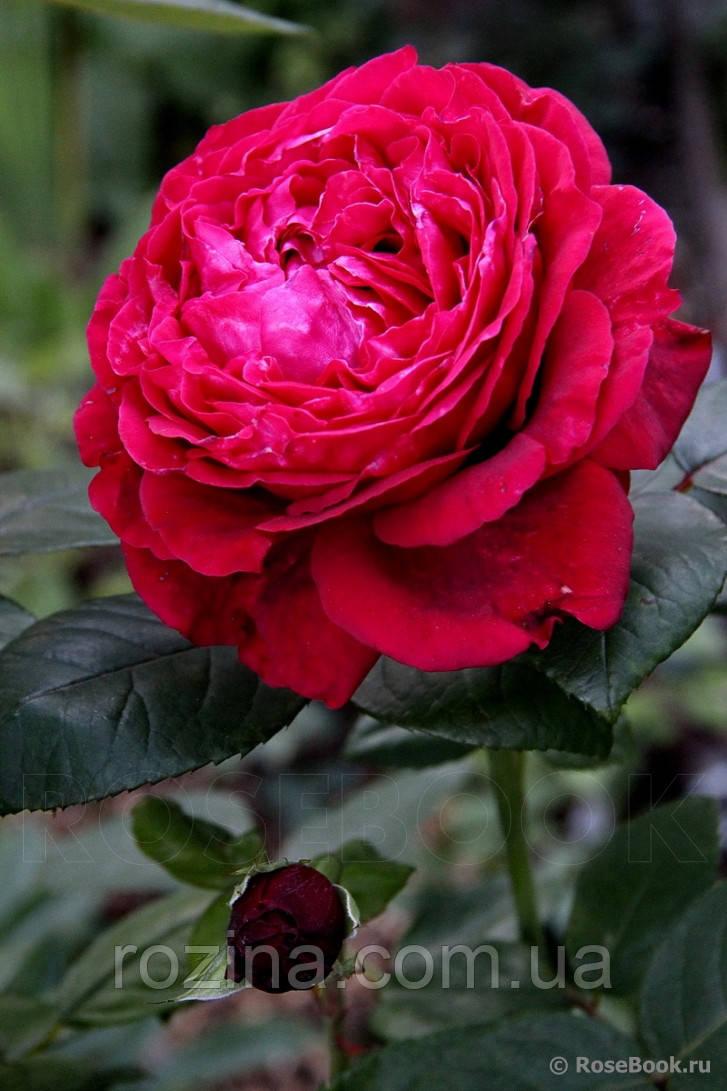 """Саджанці троянди """"Вентус Квадрі Вен"""""""