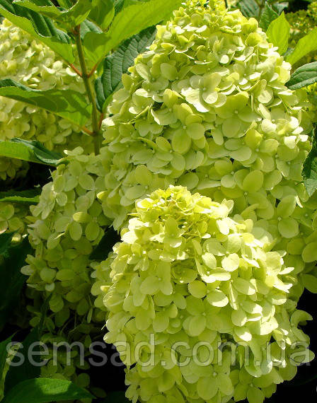 "Гортензия Метельчатая Лайм Лайт\ hydrangea paniculata "" Limeligh  ( саженцы 2 года )"