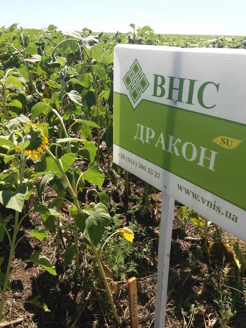 Семена подсолнечника ДРАКОН под гербицид Экспресс, Подсолнух устойчивый к заразихе и засухе. Олийный - 52%ВНИС