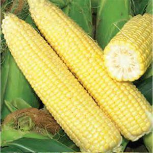 Семена кукурузы Мегатон F1 (Harris Moran), 4000 семян — ранняя (85 дней), суперсладкая, фото 2