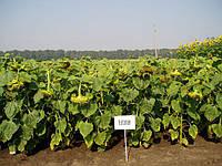 Семена подсолнечника Бузулук (супер-ранний), фото 1