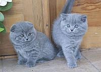 Короткошерстные шотландские котята