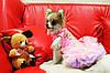 """Платье нарядное """"Мишка Барни"""" для собаки, кошки. Одежда для собак., фото 8"""