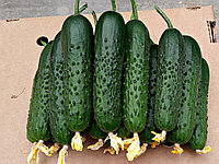 Семена огурца Спино F1 (500 сем.) Syngenta