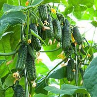 Семена огурца Эколь F1 (500 сем)