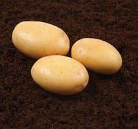 Картопля Нектар (Голандія) середньорання
