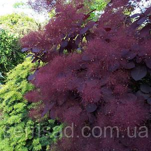 "Скумпия кожевнная Рояль Пурпле \ Cotinus coggygria ""royal purple'' ( саженец 2 года), фото 2"