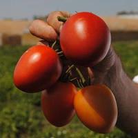 Семена томата Намиб F1 (1000 сем.)