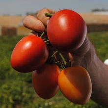 Насіння томату Наміб F1 (1000 сем.) Syngenta