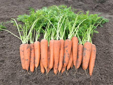 Семена моркови Вита лонга (Bejo), 500 г — поздний сорт (150 дней), сортотип Флакке, фото 2