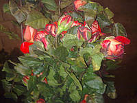 Розы оптом