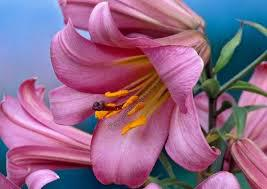 Луковица Лилия ЛО-гибрид Pink Perfection