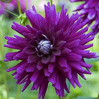 Георгина Кактусовая Purple Gem, фото 1