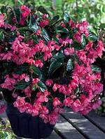 Семена цветов сорт бегония Дреген Винг красная F1 5 шт