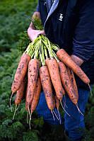 Морковный гигант Flakkee
