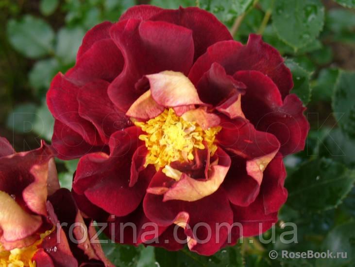 Роза Луис Франция