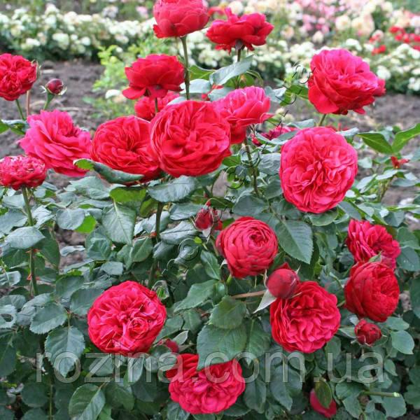 """Саджанці троянди """" Пиано """""""