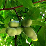 Азимина (банановое дерево)