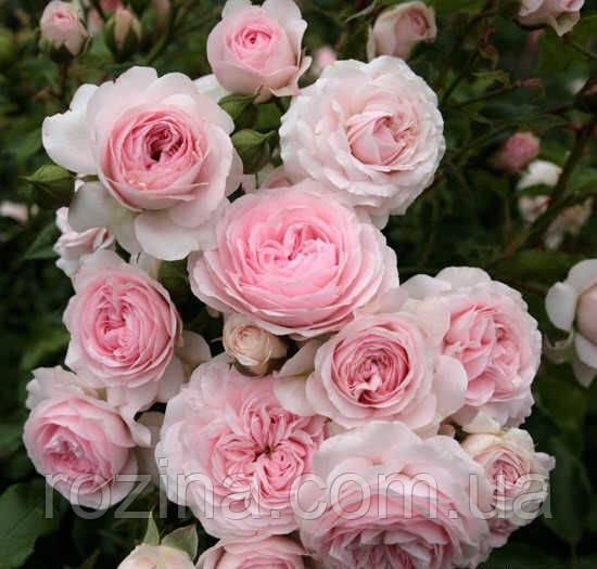 """Саджанці троянди """"Лариса"""""""