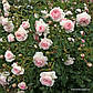 Саженцы розы Лариса, фото 2