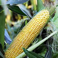 Семена Кукуруза сахарная суперсладкая LS-779 F1 поштучно 50 семян Lucky Seed