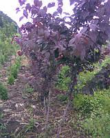 Алича червонолиста, Prunus cerasifera var. pissardii