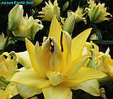 Лилия Exotic Sun (Экзотическое солнце) махровая, фото 4