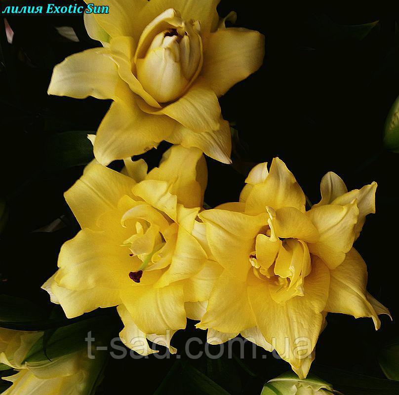 Лилия Exotic Sun (Экзотическое солнце) махровая