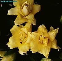 Лилия  От гибрид Exotic Sun (Экзотическое солнце) махровая