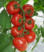 Семена томата индетерминантного Тайлер F1, 1 шт, Kitano (Китано) Япония