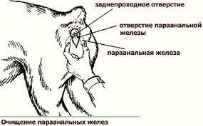 Чистка параанальных желез