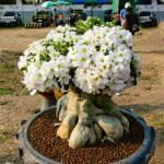 Адениум тучный с белыми цветками