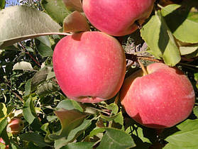 Яблуня Пирос