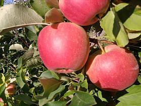 Яблуня Пирос Двухлетний